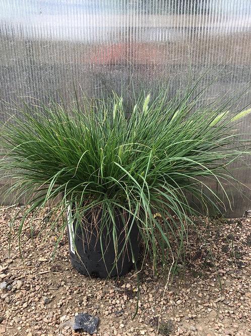 Fountain grass dwarf Hameln #3