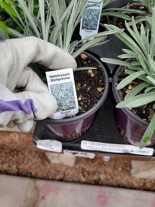 Helichrysum icicles 4.25 premium