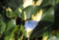 blue_003 on ivy.jpg