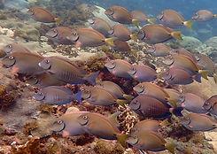 doctorfish (Acanthurus chirurgus) and su