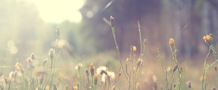 plants dandelions.jpg
