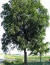 Shellbark Hickory.png