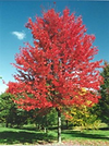 Red Maple.png
