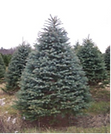 colorado blue spruce.png