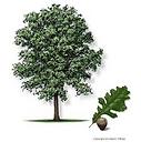 Bur Oak.png