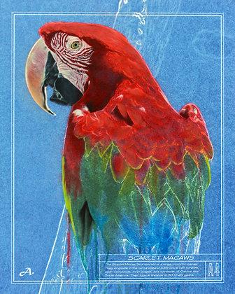 """Scarlet Macaw, 16""""x20"""""""