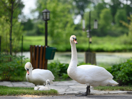 Swans of Stratford & Forest Motel