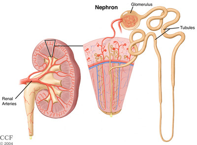Nephron and Urine Formation Process
