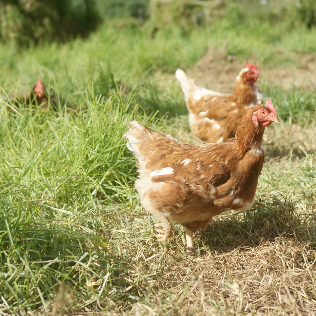 Hens enjoying the sunshine