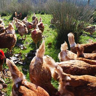 More happy hens