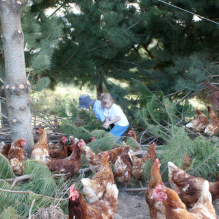 Chickens under the trees
