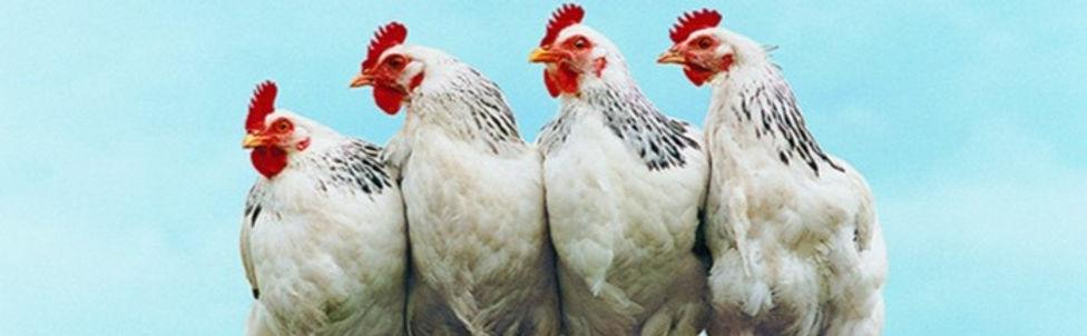 Chicken_edited_edited.jpg