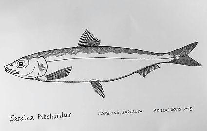 Sardina Pilchardus.jpg