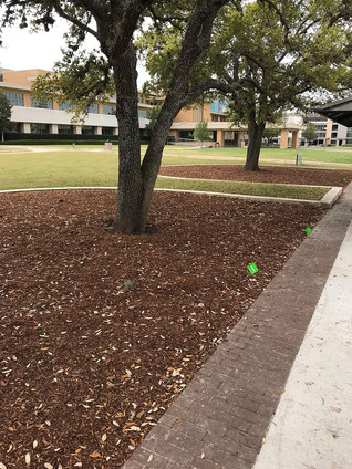 CARING FOR THE TREES AT MSC AND RUDDER