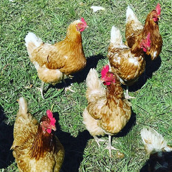 Our lovely free range healthy chickens! They give us 12 eggs each day and are our animal tractor, he