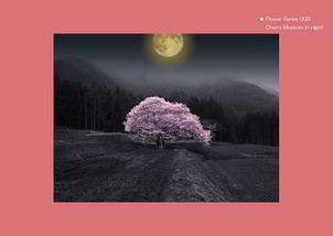 Flower Series 005 Cherry Blossom in night