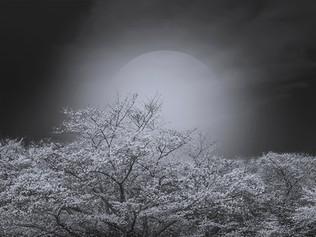 Sakura Cherry Blossoms Series