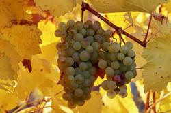 grapes-3822022_1920