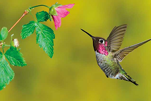 Hummingbirds.png