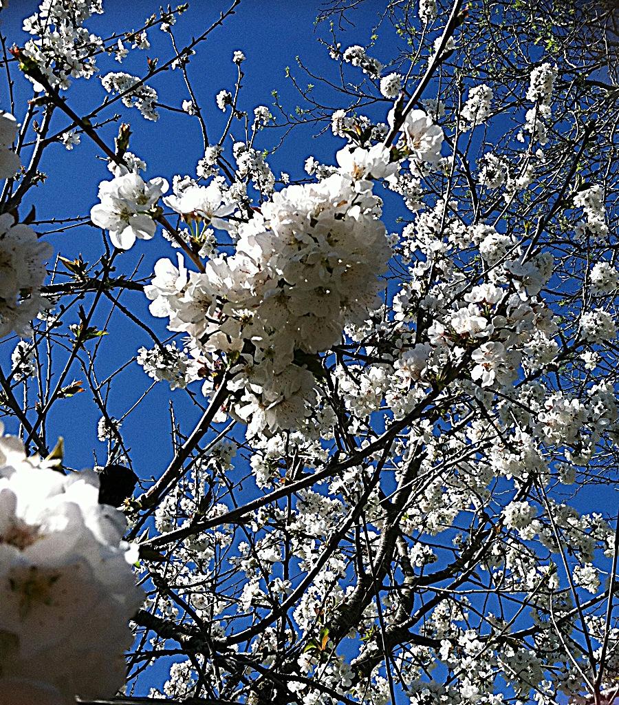 Cherry Spring