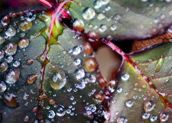 Thawing Rose Leaves