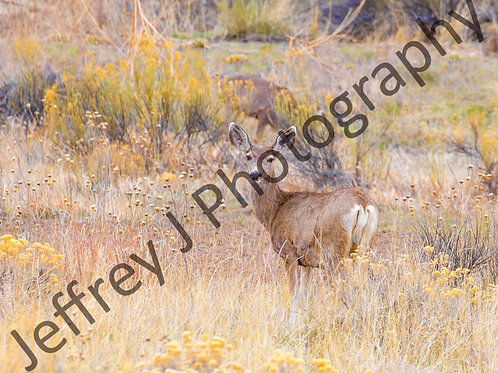 Mule Deer - Mounted Photo Paper Print