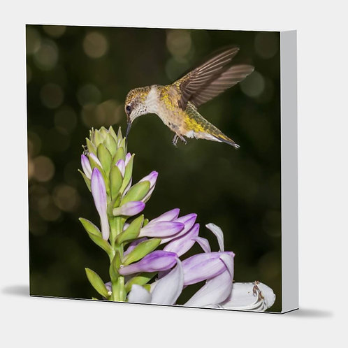"Hummingbird Hover - Canvas Wrap White Edge 1.5"" Frame"