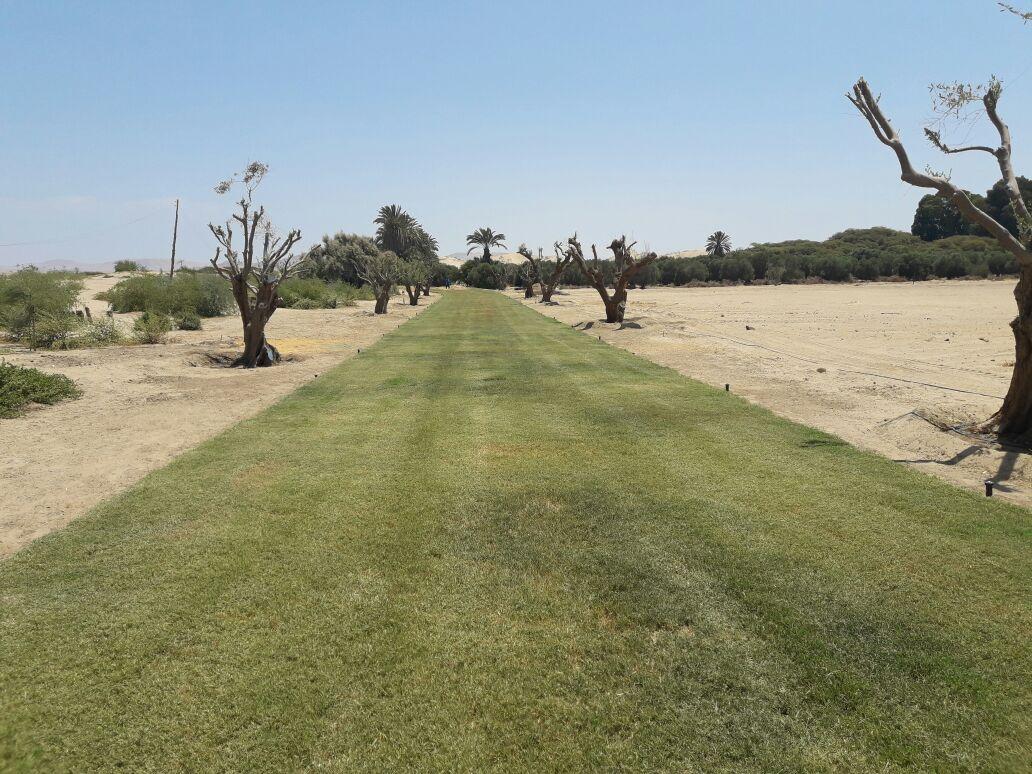 Alamein Caminos Grass