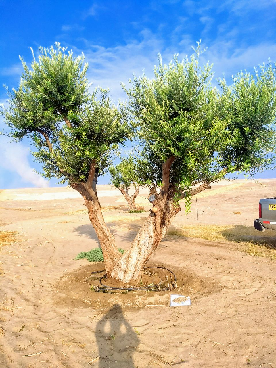 Alamein Olivo 3