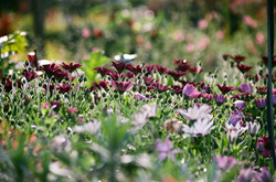 Chrysanthèmes pourpres