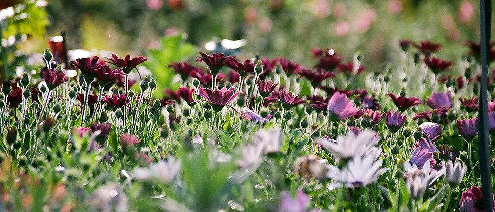 パープル菊