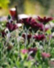 lila Chrysanthemen