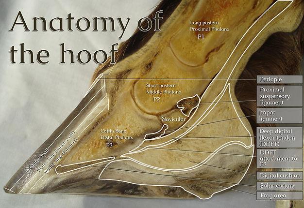 anatomy half foot Eng small.jpg
