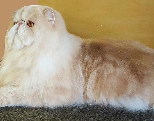 Male Cream Tabby Persain