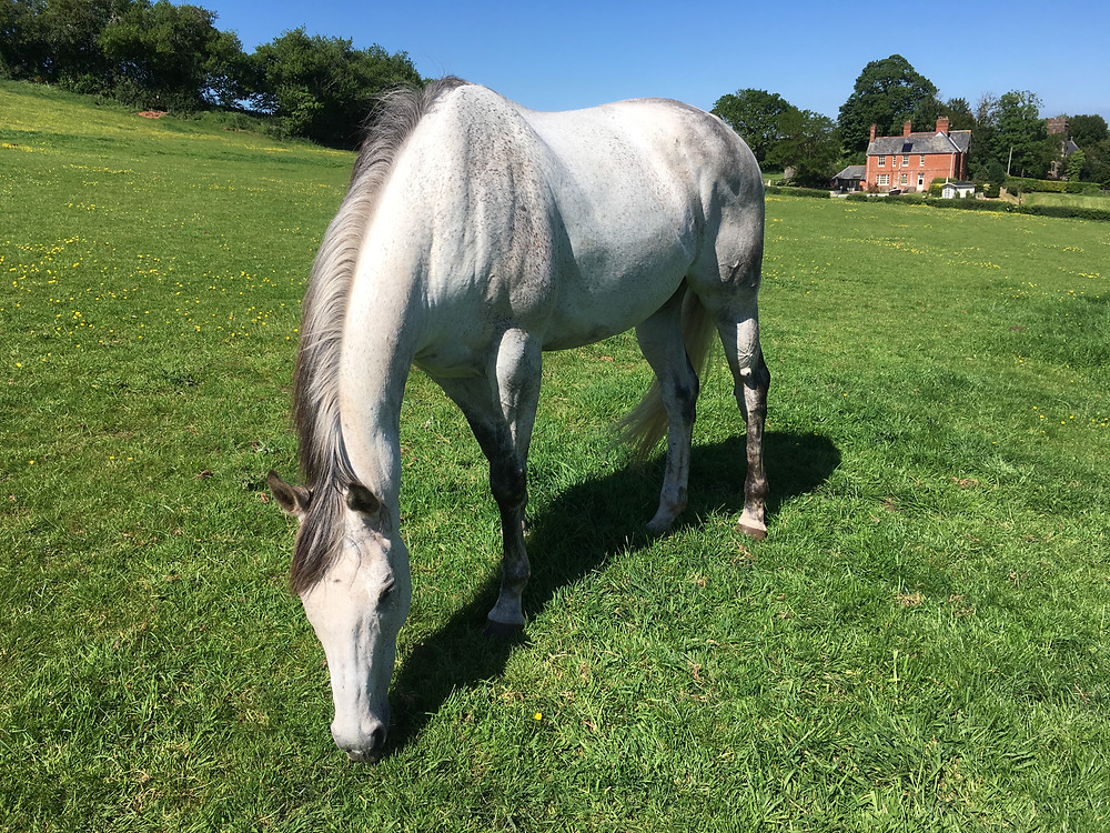 rehabilitation ex racehorse grazing at Pippsway Classical Natural Horsemanship Wellington Somerset near Devon