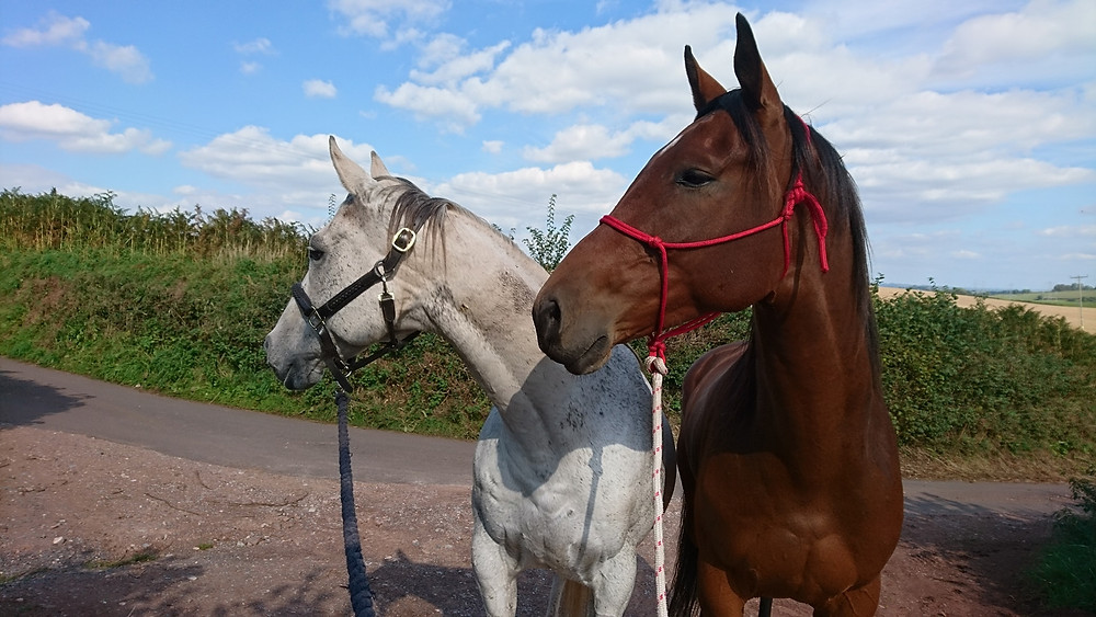 Horses in headcollars out for a walk in hand at Pippsway Classical Natural Horsemanship Wellington Somerset near Devon