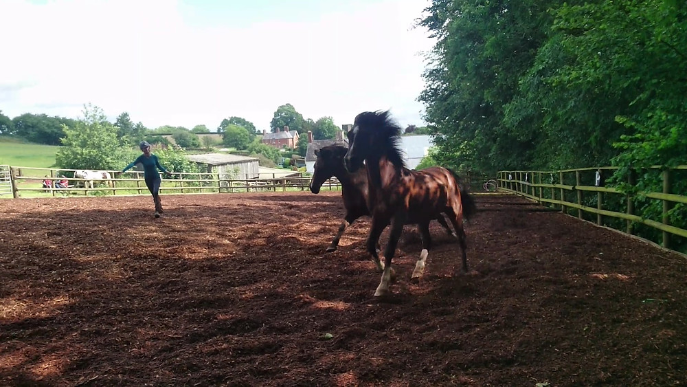 two horses being freeschooled at Pippsway Classical Natural Horsemanship Wellington Somerset near Devon