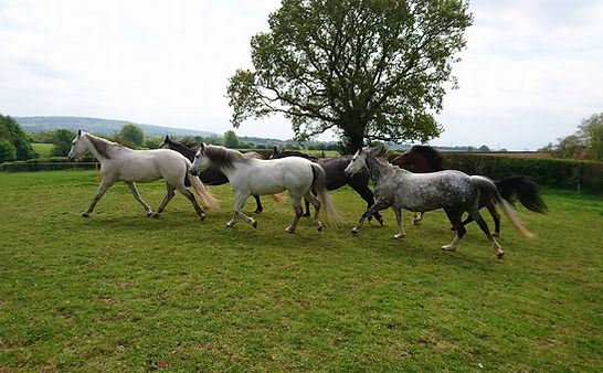 Horses free range livery Pippsway Wellington Somerset near Devon acres of pasture living as a herd