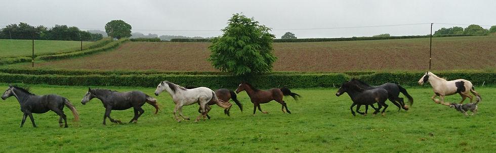 Herd livery free range grazing pasture Pippsway Natural Horsemanship Wellington Somerset near Devon