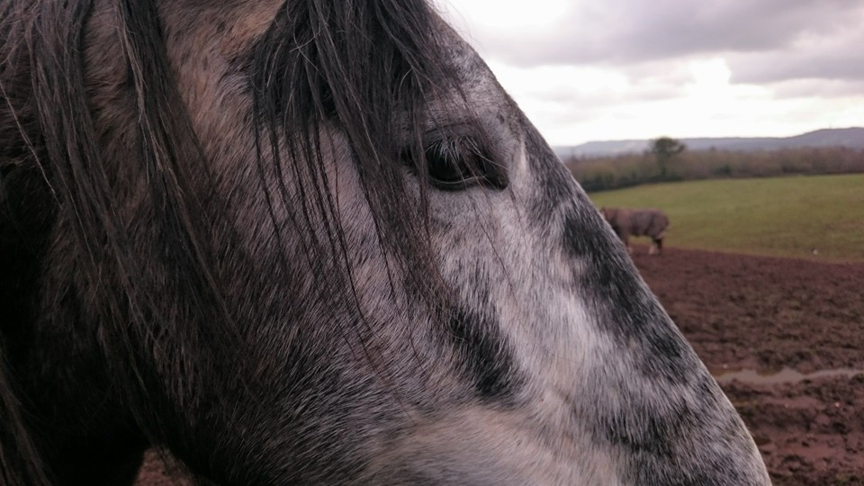 close up of horses head at Pippsway Classical Natural Horsemanship Wellington Somerset near Devon