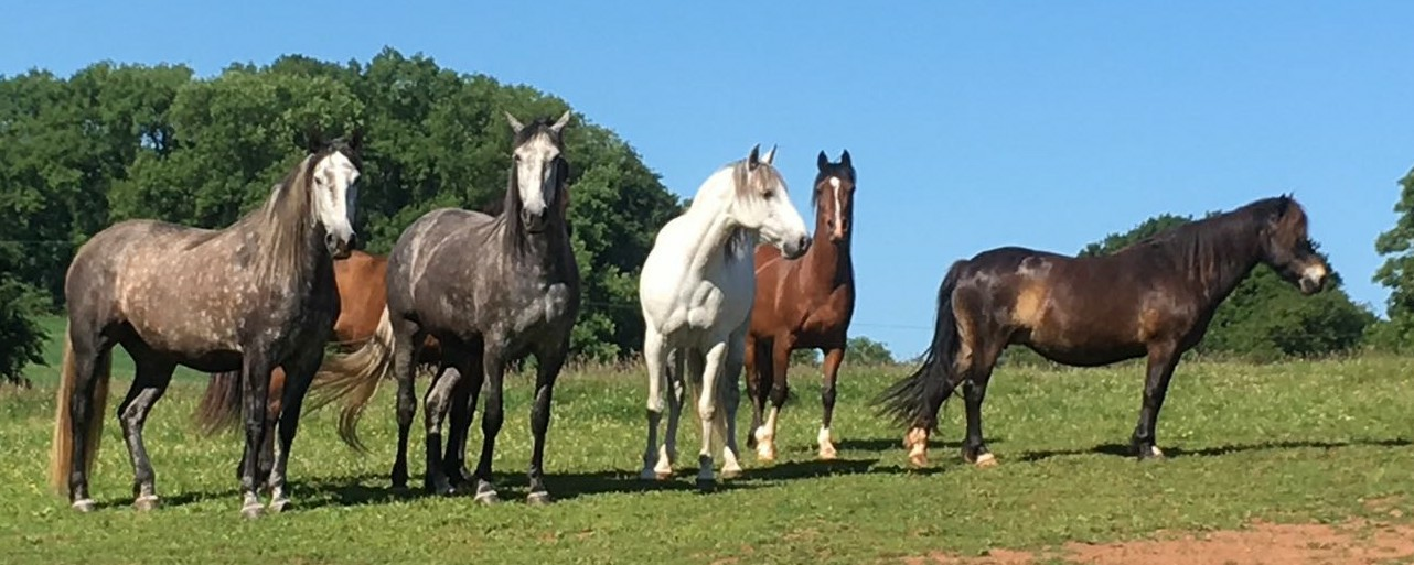 Horses free to roam Pippsway Devon