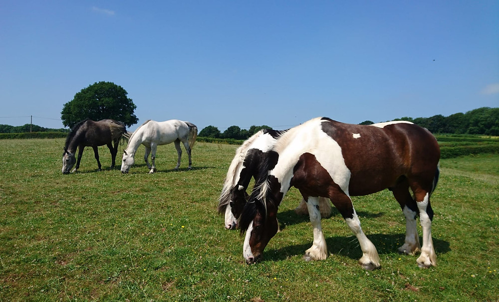 Horses grazing Pippsway Classical Natural Horsemanship Wellington Somerset near Devon