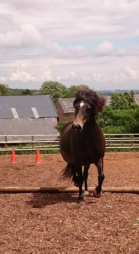 barefoot rescue pony, free schooling, energy, intention and body language PIppsway Classical Natural Horsemanship, Wellington Somerset near Devon