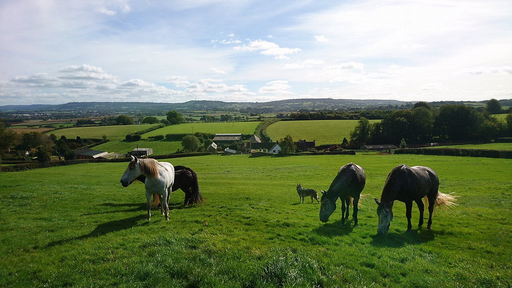 herd of mares grazing at Pippsway Classical Natural Horsemanship Wellington Somerset near Devon