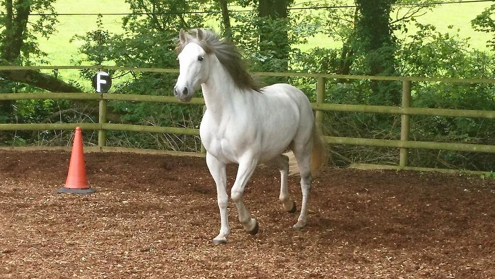 Spanish mare freeschooling Pippsway Classical Natural Horsemanship Wellington Somerset near Devon