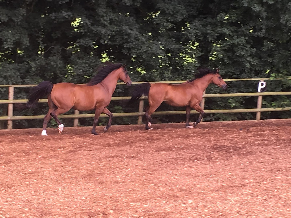 Bay Arab Horses being freeschooled at Pippsway Classical Natural Horsemanship Wellington Somerset near Devon