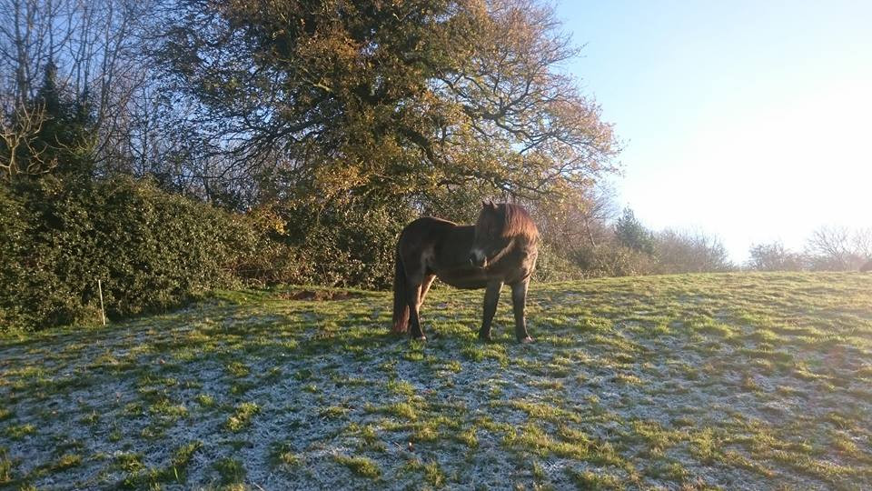 Amber, rescue meat pony in the field at Pippsway Classical Natural Horsemanship Wellington, Somerset near Devon
