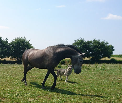 Successful horsemanship with training livery horse being introduced to a new herd Pippsway Classical Natural Horsemanship Wellington Somerset near Devon