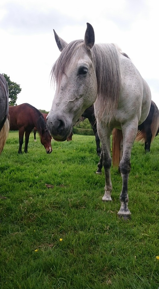 Spanish Mare, horse's grazing Pippsway Classical Natural Horsemanship Wellington, Somerset near Devon