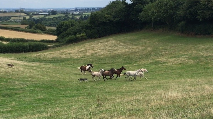 horses and dogs running free at Pippsway Classical Natural Horsemanship Wellington Somerset near Devon